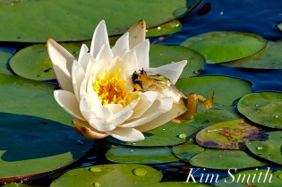 frog-eating-bee-copyright-kim-smith-copyright-kim-smith