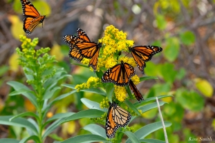 Monarch Butterflies Seaside Goldenrod Gloucester MA -2 copyright Kim Smith