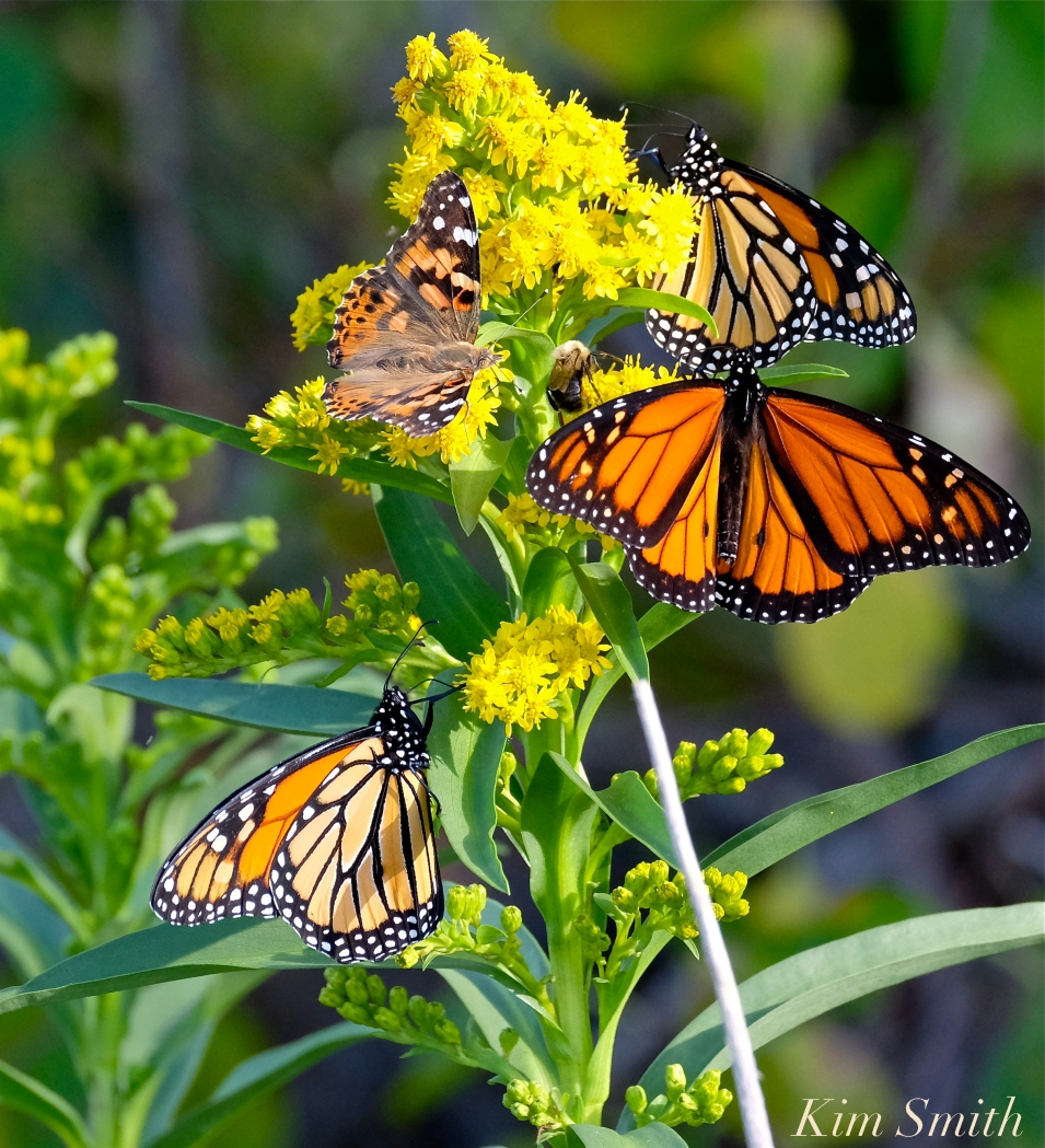 monarch-butterfly-painted-lady-bee-seaside-goldenrod-copyright-kim-smith
