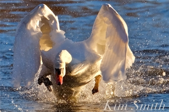 mr-swan-chaisng-the-young-swan-copyright-kim-smith