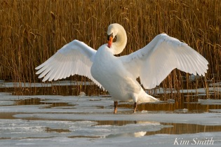 Mr. Swan winter wing stretching -2 copyright Kim Smith