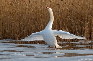 Mr. Swan winter wing stretching copyright Kim Smith