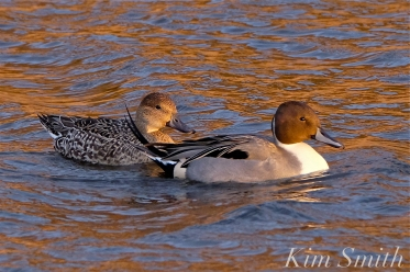 northern-pintail-female-and-male-cape-ann-massachusetts-copyright-kim-smith