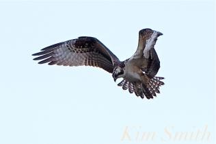 Osprey copyright Kim Smith