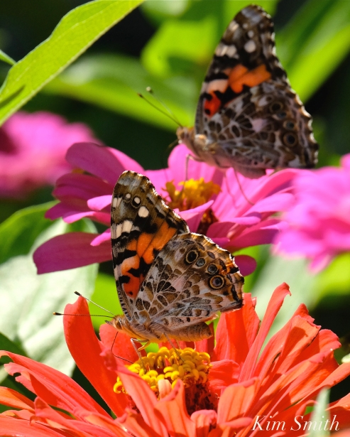 painted-lady-butterfly-2-copyright-kim-smith