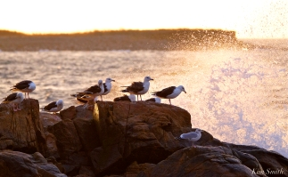 seagulls-in-seapsray-copyright-kim-smith
