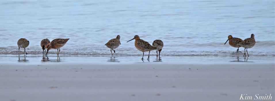 short-billed-dowitcher-flock-copyright-kim-smith