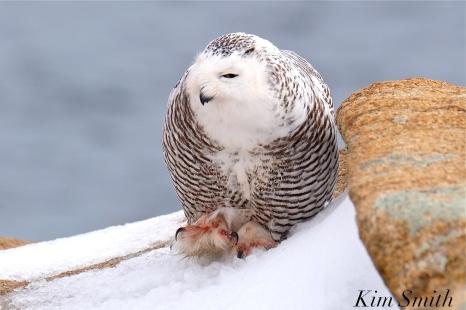 Snowy Owl Bubo scandiacus Backshore Gloucester MA -11 copyright Kim Smith