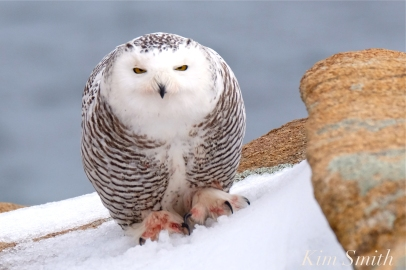 Snowy Owl Bubo scandiacus Bloodied Feet Backshore Gloucester MA copyright Kim Smith
