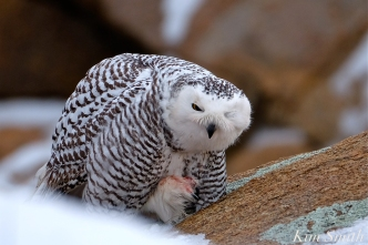 Snowy Owl Cleaning Foot Bubo scandiacus Backshore Gloucester MA copyright Kim Smith