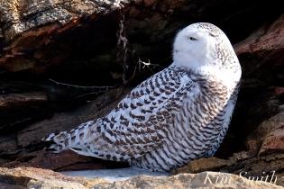 Snowy Owl Female Hedwig Bass Rocks Gloucester Ma -2 copyright Kim Smith