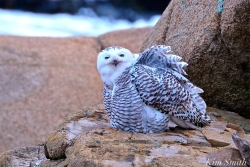 Snowy Owl Female Hedwig Grooming Gloucester MA-2 copyright Kim Smith