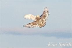 Snowy Owl Female Male Fight -2 Gloucester MA copyright Kim Smith