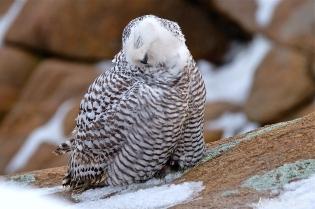 Snowy Owl Grooming -2 Bubo scandiacus Backshore Gloucester MA copyright Kim Smith