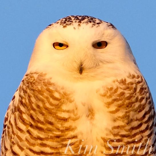 Snowy Owl Hedwig Female Gloucester MA -5 copyright Kim Smith