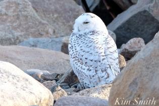 Snowy Owl Male Bubo Bass Rocks Gloucester Ma copyright Kim Smith