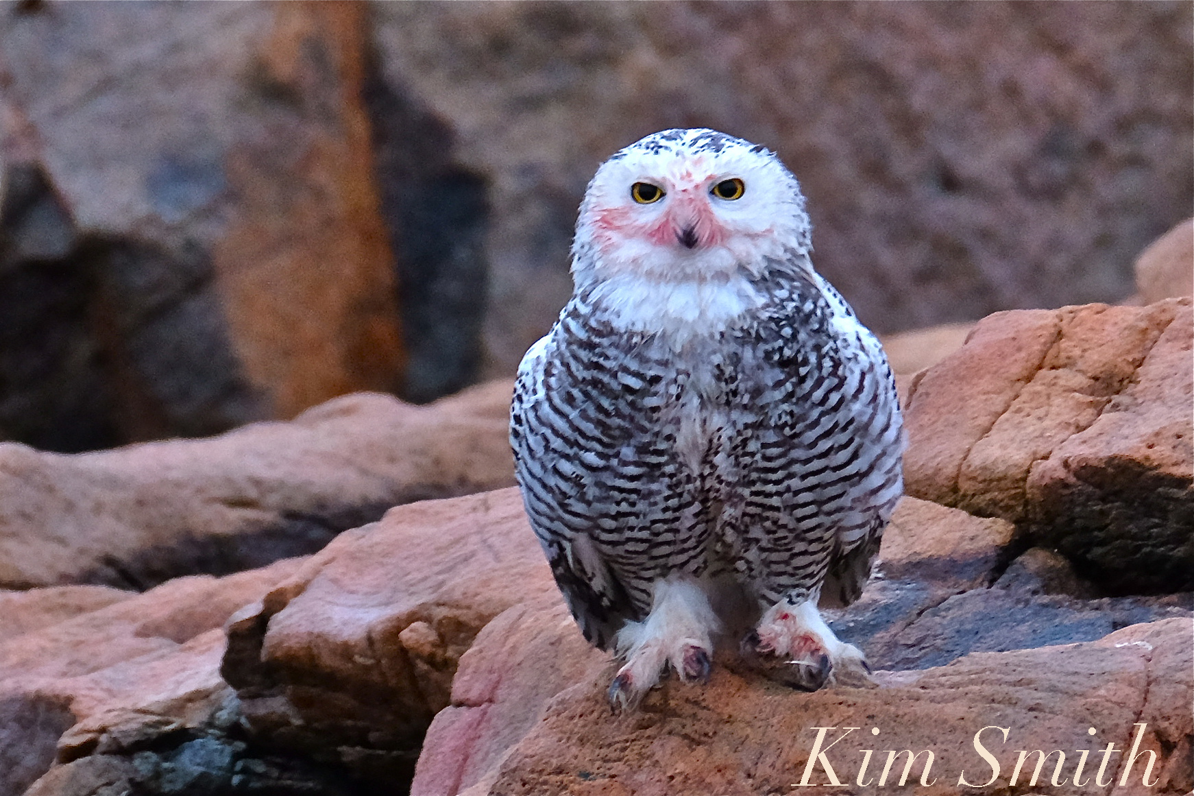 Female snowy owl kim smith designs hedwig was a contented mess her feet and talons blood stained reddish pink from a fresh kill it was the morning after a rain storm and the crevices atop biocorpaavc Choice Image