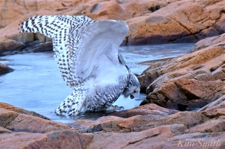 Snowy Owl Taking a Bath Hedwig Gloucester MA-10 copyright Kim Smith