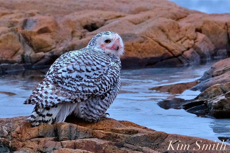 Snowy Owl Hedwig Takes A Bath Kim Smith Designs