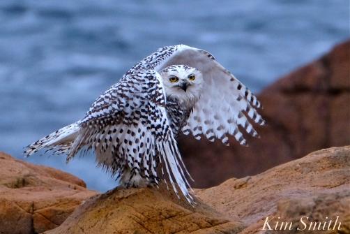 Snowy Owl Taking a Bath Hedwig Gloucester MA-33 copyright Kim Smith