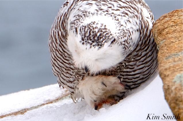 Snowy Owl Washing Feet Bubo scandiacus Backshore Gloucester MA copyright Kim Smith