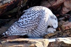 Snowy Owl Washing Talons -2 Female Hedwig Bass Rocks Gloucester Ma copyright Kim Smith