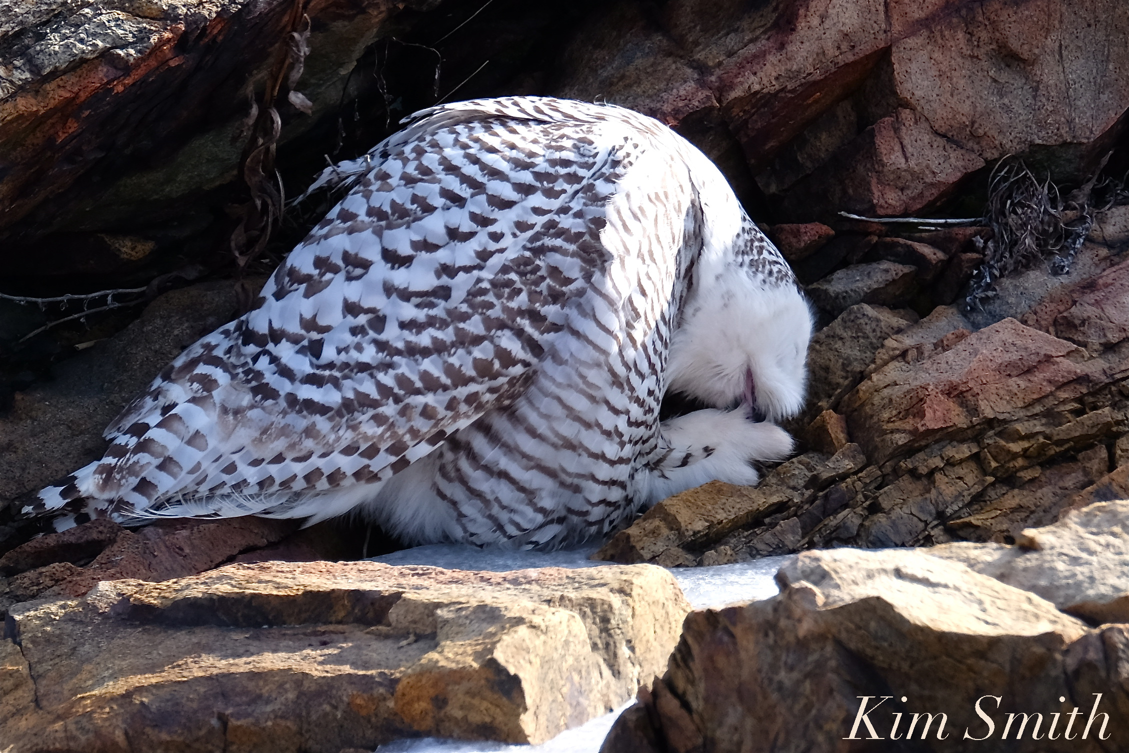 snowy owl fight and hedwig and bubo weekend update