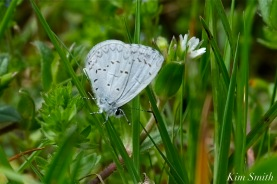 spring-azure-celastrina-ladon-2-copyright-kim-smith
