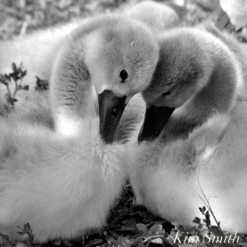 two-cygnets-copy