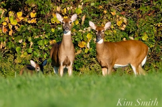 white-tailed-deer-summer-fall-coat-2-copyright-kim