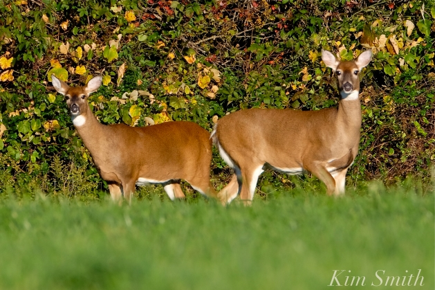 white-tailed-deer-summer-fall-coat-copyright-kim-smith