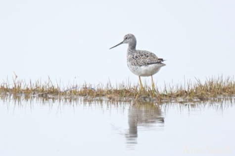Yellow Legs copyright Kim Smith JPG