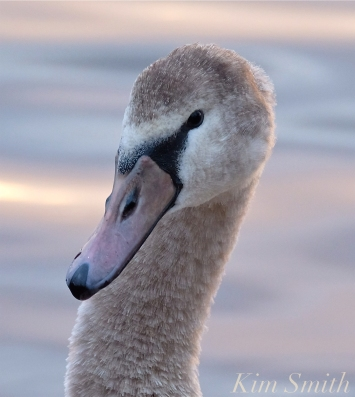 Young Swan Niles Pond First Hatch Year Cygnet copyright Kim Smith