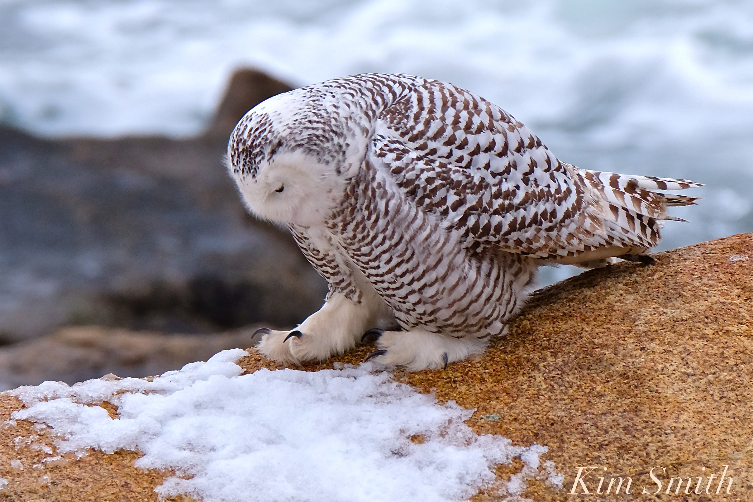 Female snowy owl kim smith designs a snowy owls feet are covered in feathers providing insulation against arctic temperaturesjust like a pair of warm fluffy slippers biocorpaavc Choice Image