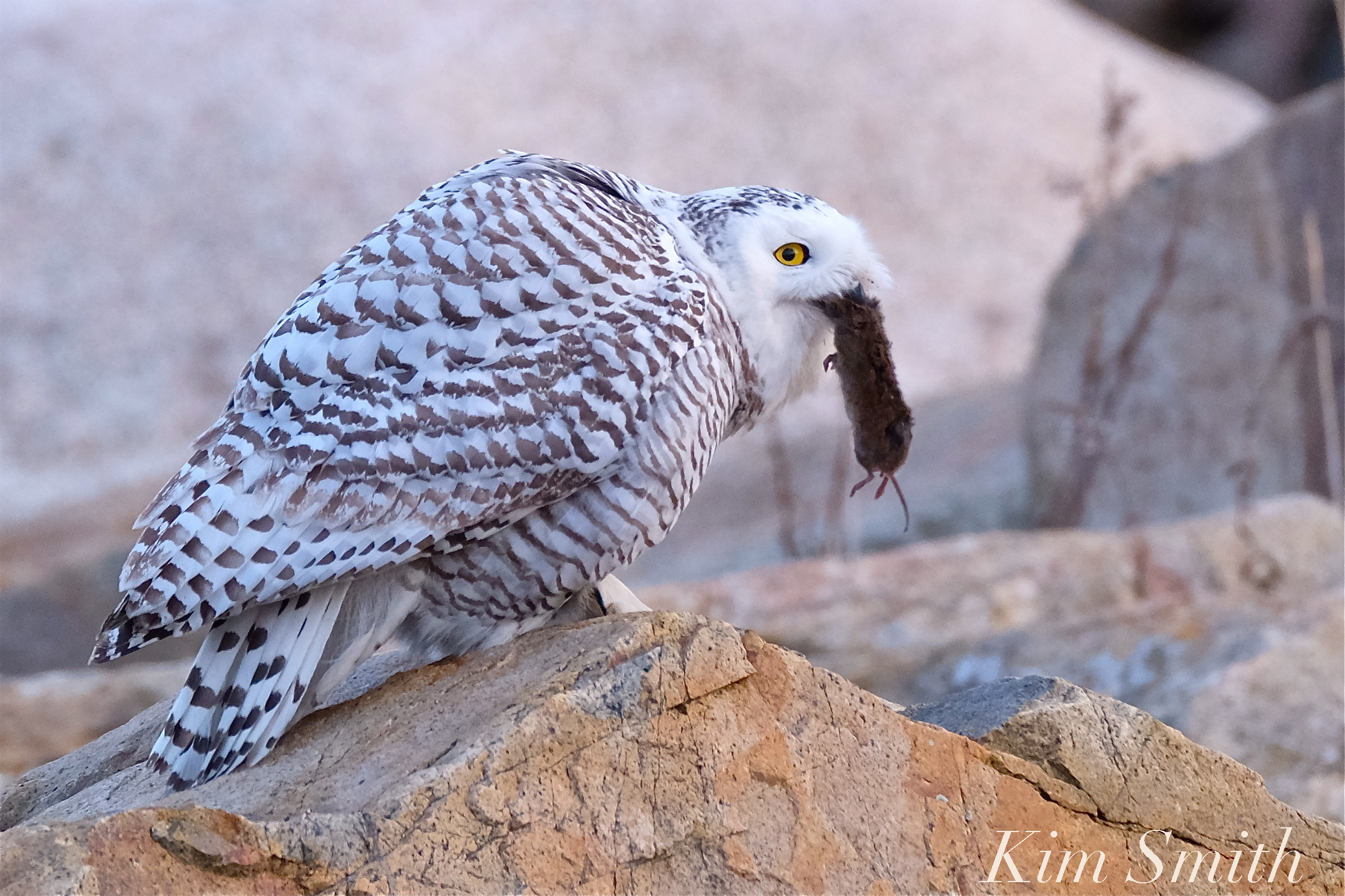 Female snowy owl kim smith designs is too long for a mouse or rat and too short for a vole but perhaps not small mammal caretaker erin whitmore wrote with her suggestion what do you biocorpaavc Choice Image