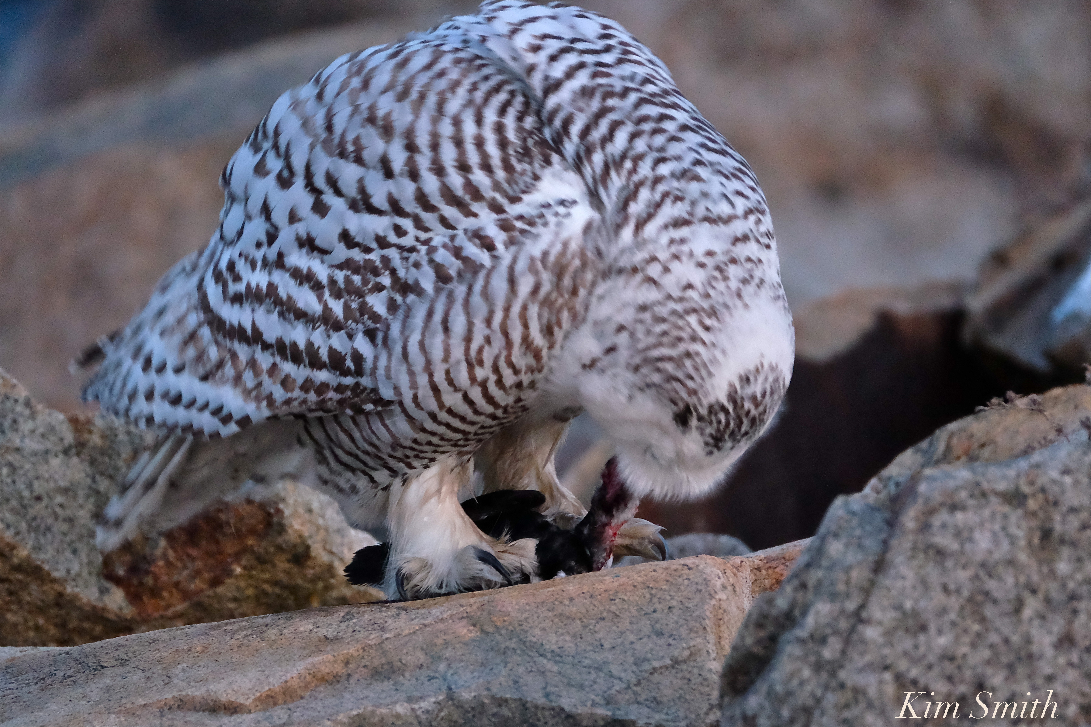 Female snowy owl kim smith designs or rat and too short for a vole but perhaps not small mammal caretaker erin whitmore wrote with her suggestion what do you think hedwig is eating biocorpaavc Choice Image