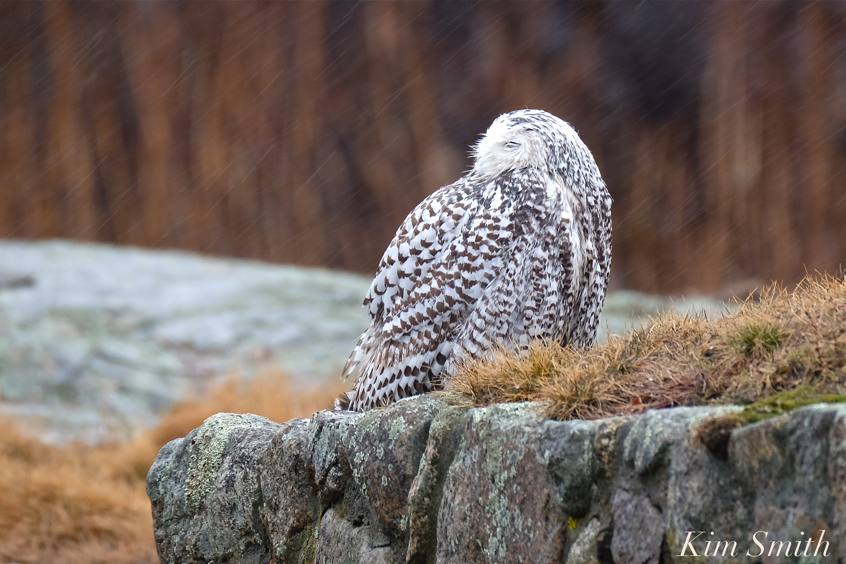 Female snowy owl kim smith designs hedwig sleeping in the rain thank you to arly pett for letting me know she was out in the rain biocorpaavc Choice Image