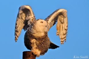 Snowy Owl Hedwig Taking Off Gloucester MA copyright Kim Smith
