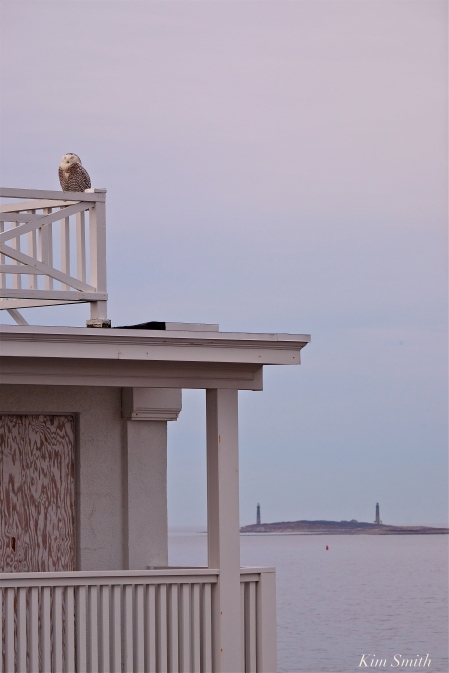 Twin Lights Snowy Owl Hedwig Gloucester MA vertical copyright Kim Smith