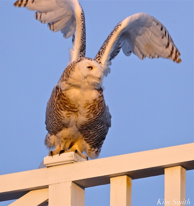 Snowy Owl Hedwig Flying copyright Kim Smith