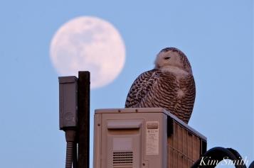Snowy Owl Hedwig Moonlight copyright Kim Smith