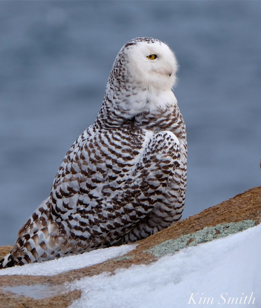 Snowy Owl Hedwig Triangulating -2 copyright Kim Smith