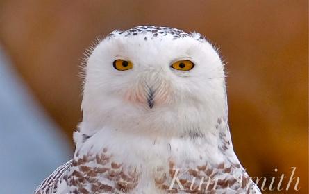 Snowy Owl Hedwig Triangulating copyright Kim Smith