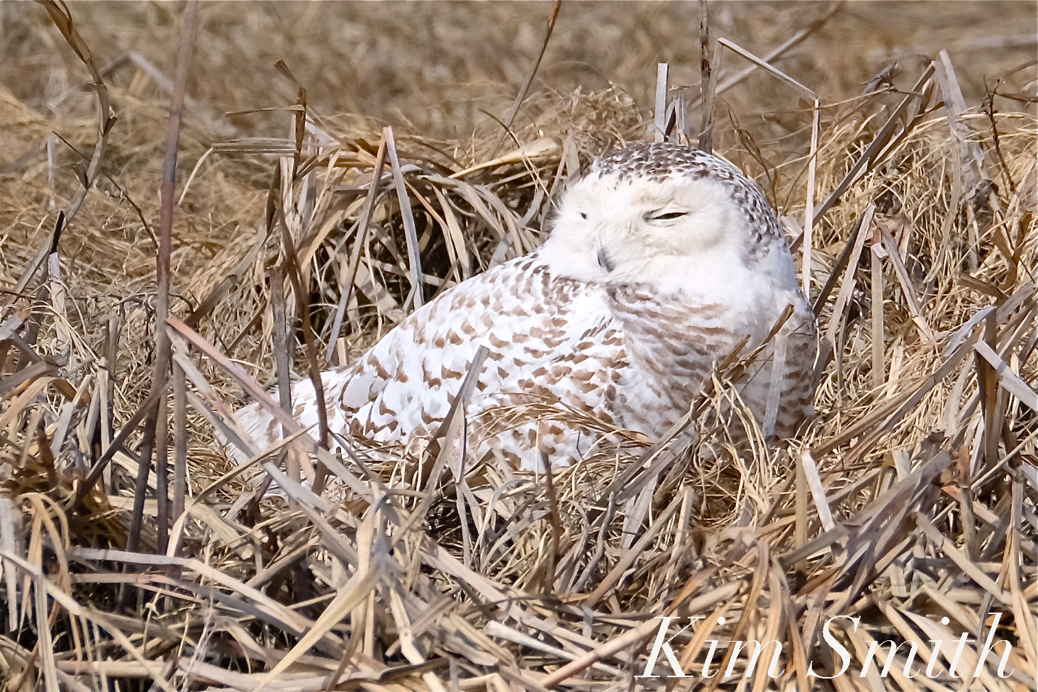 Female snowy owl kim smith designs came upon a snowy owl in the marsh with very similar feather patterning around the face i think she is the same snowy that was released in the video biocorpaavc Choice Image