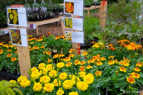 cedar-rock-gardens-marigolds-copyright-kim-smith