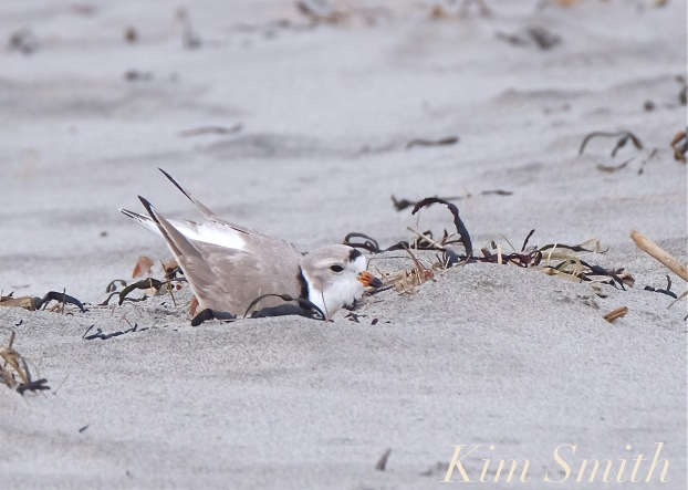 Piping Plover Courtship Male Making a Nest Scrape Gloucester MA copyright Kim Smith