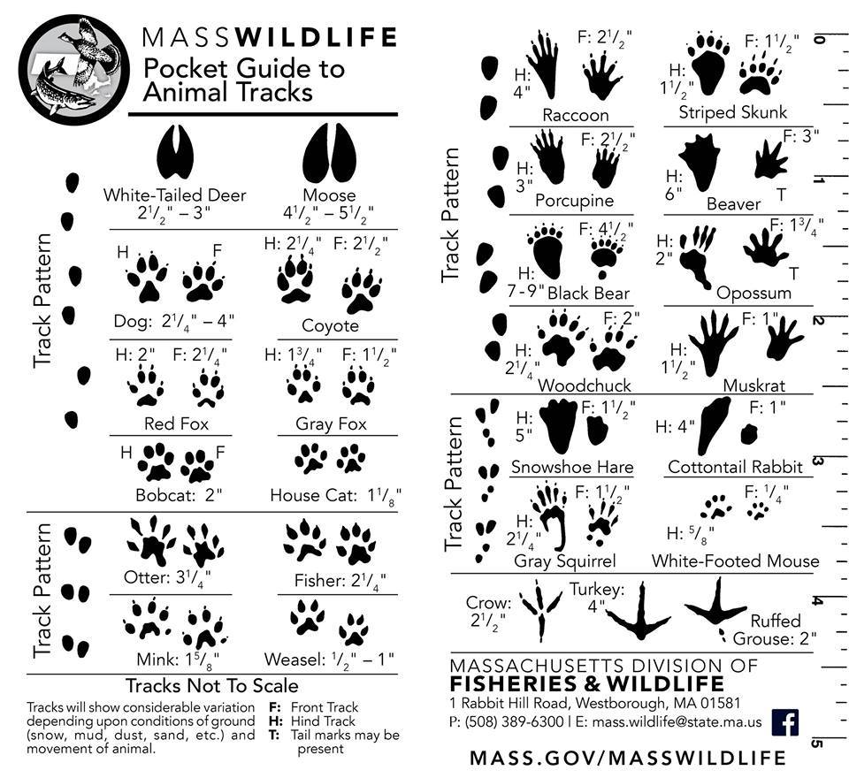 How to Identify Animal Tracks images