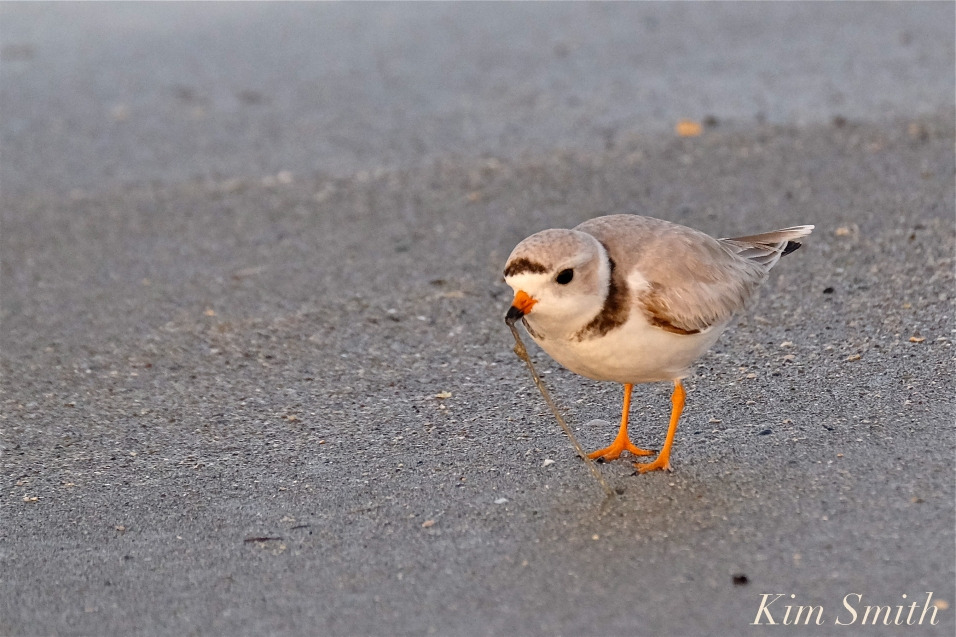 Piping Plover eating seaworm copyright Kim Smith