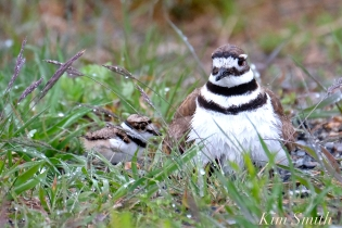 Killdeer Plover Chick Good Harbor Beach Gloucester MA -18 copyright Kim Smith