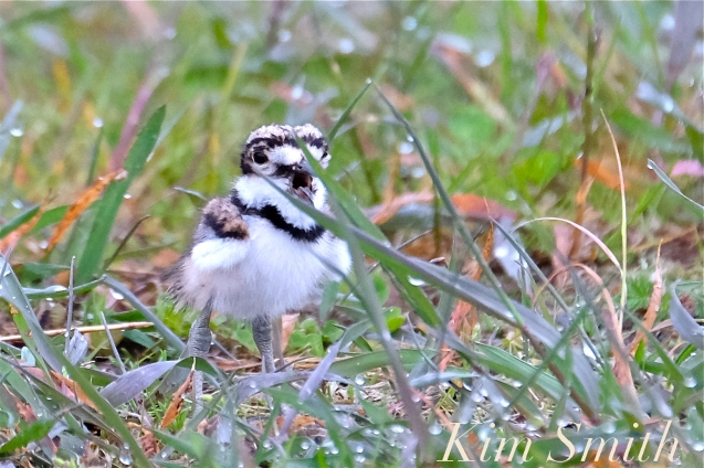 Killdeer Plover Chick Good Harbor Beach Gloucester MA -21 copyright Kim Smith
